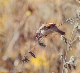 Little sparrow by Morgan-Lou