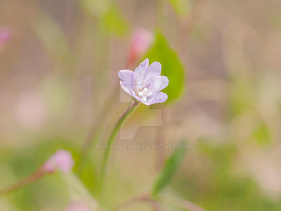Pale willowherb by Morgan-Lou