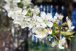 Flowering cherry tree by Arliii