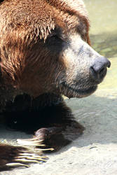 Smart Bear on Hot Day
