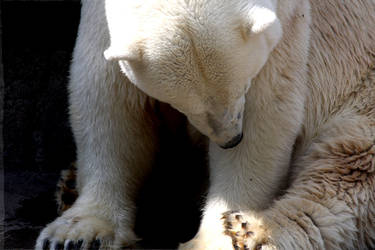 Pondering Polar Bear