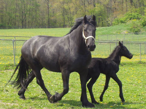 Friesian mom and colt
