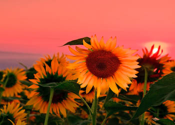 Flower at sunrise by lica20
