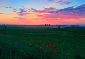 Red Poppies by lica20