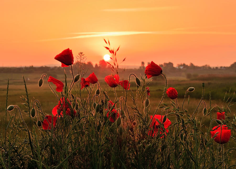 Poppy day by lica20
