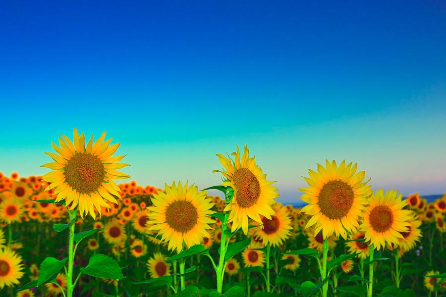 Sun flowers by lica20