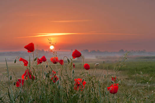 Poppies story