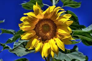 Sun on the Sunflower by ArteyPasion