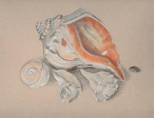 Shells in Ocean City