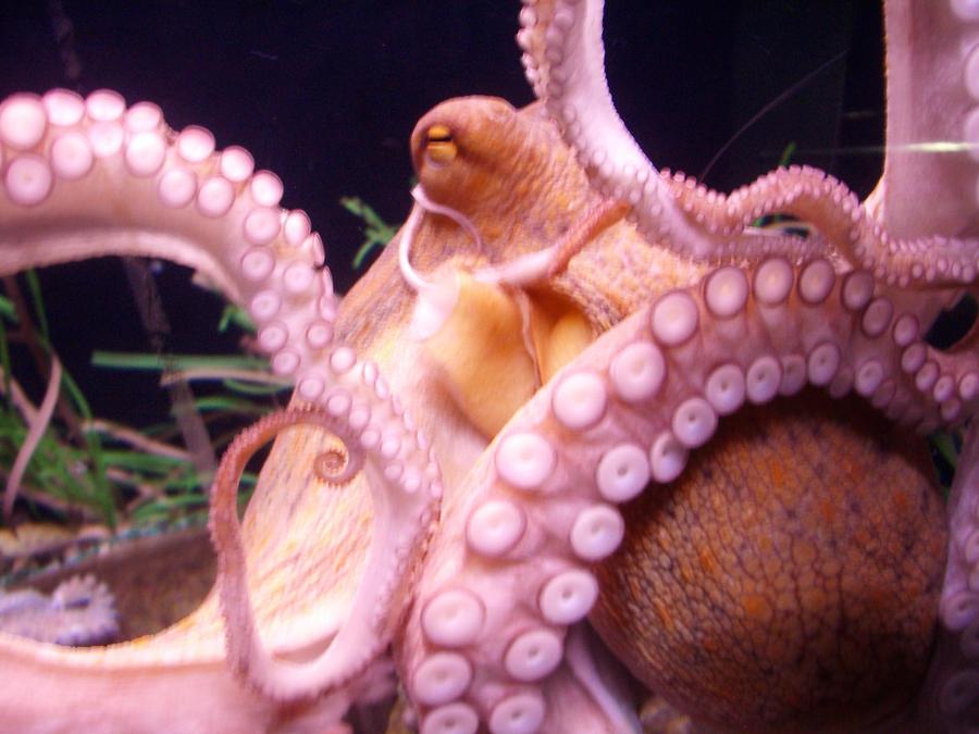Octopus by Paraformaldehyde