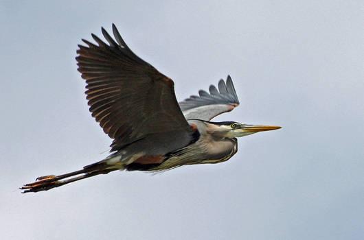 Flight of the Blue Heron