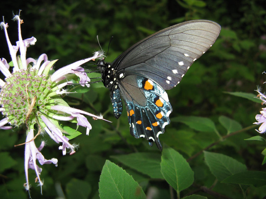 Red-Spotted Purple by shadowfire-x