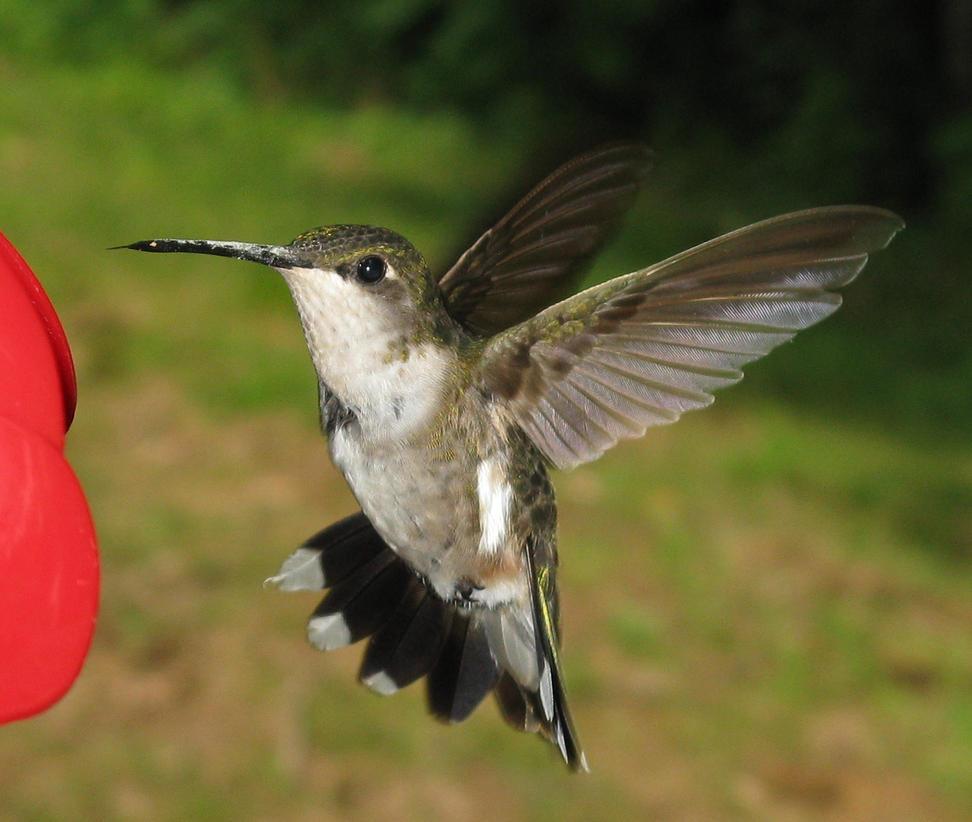 Hummingbird Detail by shadowfire-x