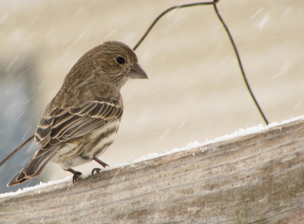 Feeder Finch by shadowfire-x