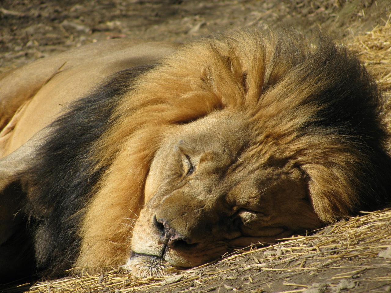 Lion Around by shadowfire-x