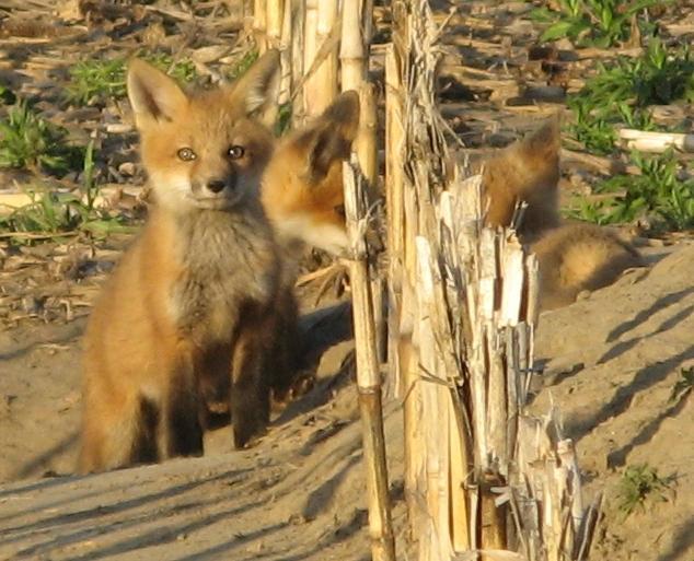 Crazy Like a Fox by shadowfire-x