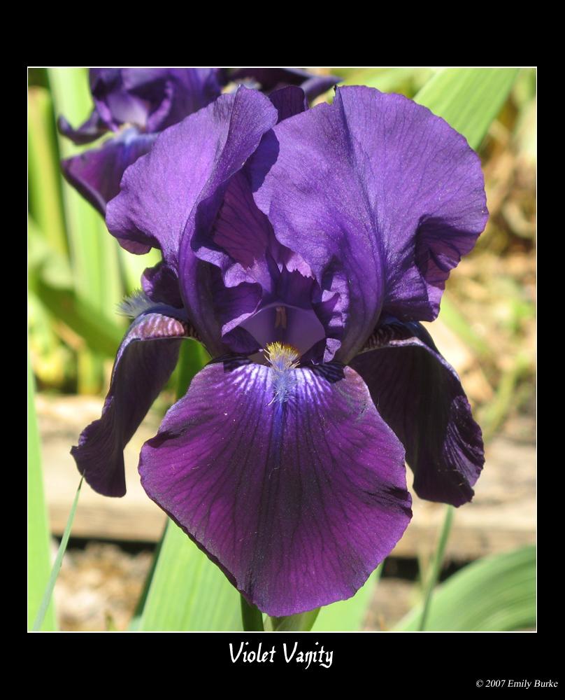 Violet Vanity by shadowfire-x