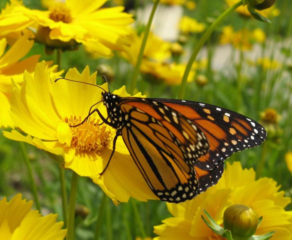 Monarch by shadowfire-x