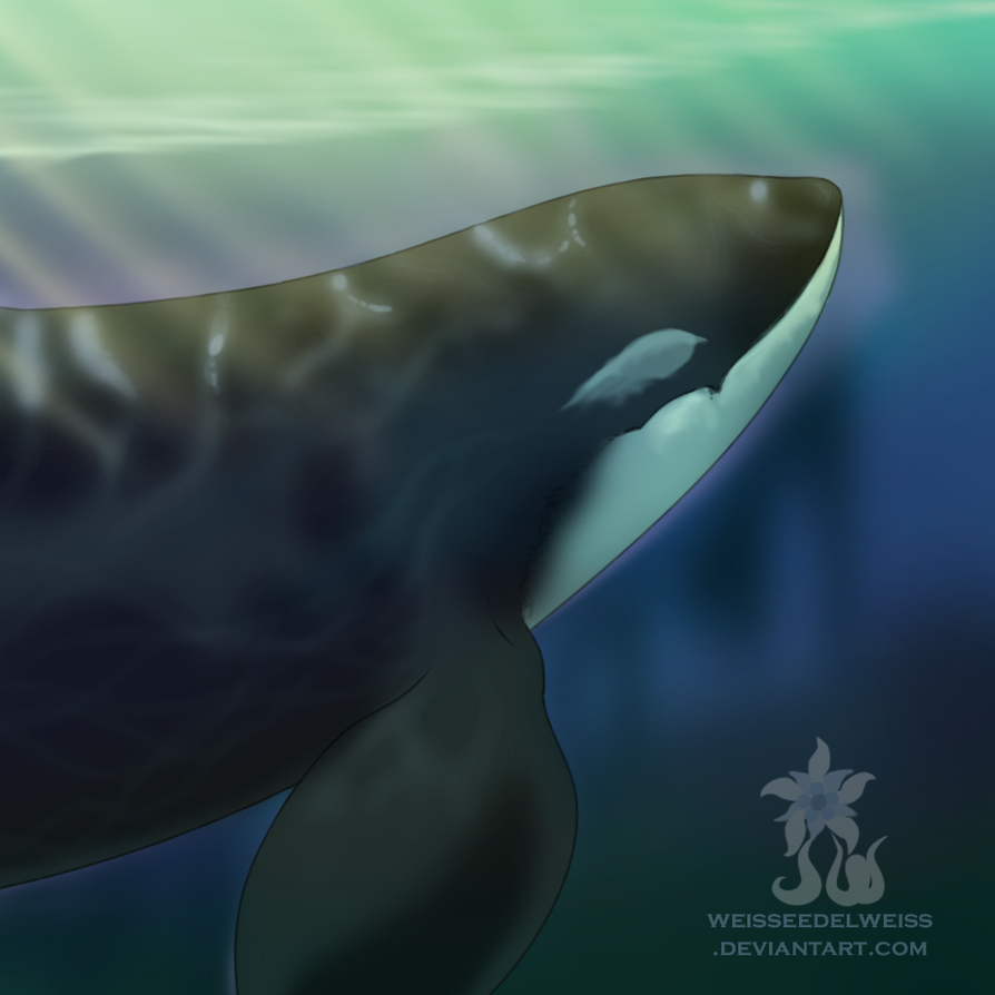 Male Orca Underwater by WeisseEdelweiss