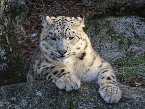 Snow leopard at sunset