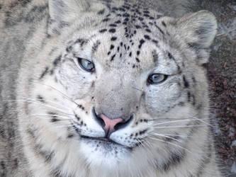 Snow Leopard Portrait by Ageira