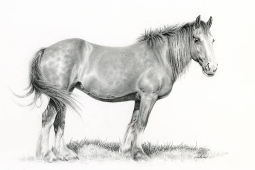 Maizy: Portrait of a Clydesdale