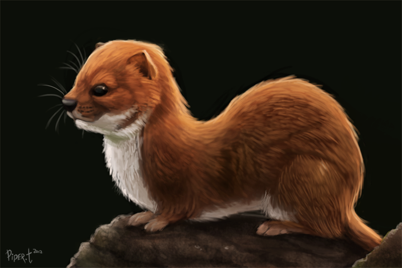Daily 9 - Observational. Weasle (55 Minutes) by Cryptid-Creations