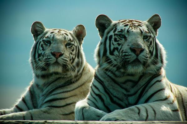 White Tigers Background by cherrypieman