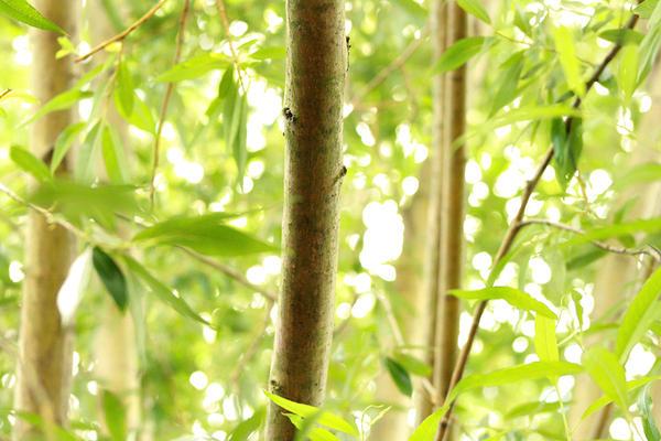 Bamboo wallpaper by cherrypieman