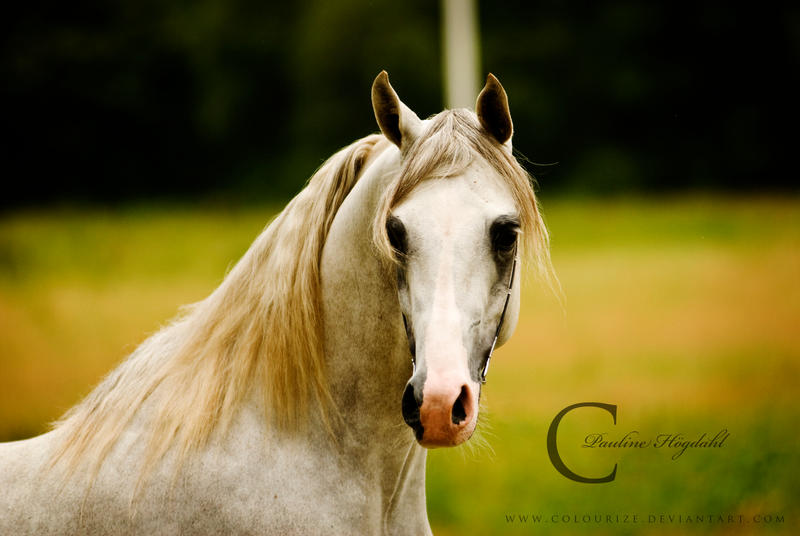 Arabian Stallion IIII by Colourize