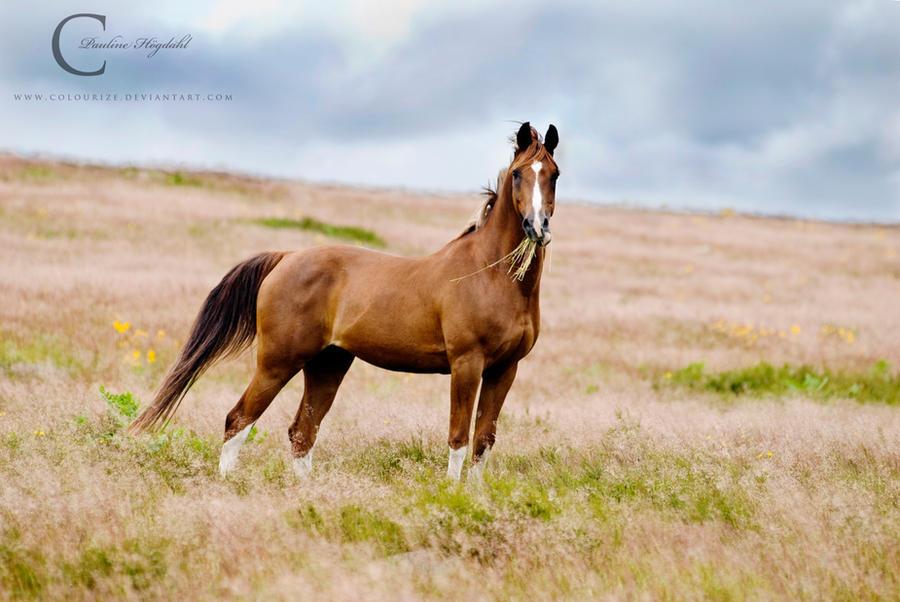 Chestnut arabian horses - photo#19