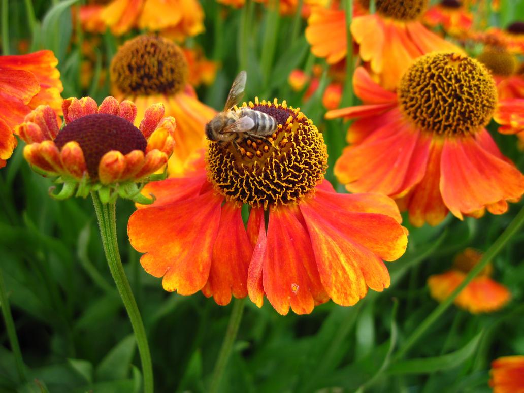 Bee on Hellenium by 666squirrelOFdeath