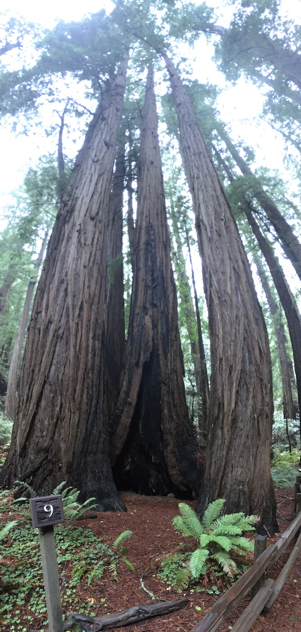 muir woods by the0st
