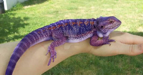 Blue bearded dragon