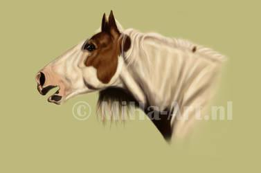 Gypsy Cob Stallion Drumshambo