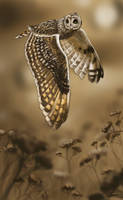 Short-Eared Owl by FatPug