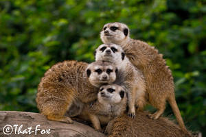 Connect The Meerkats by that-fox