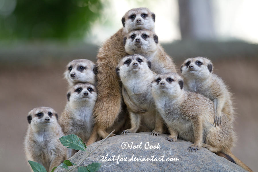 Meerkat Clan Photo Plus One