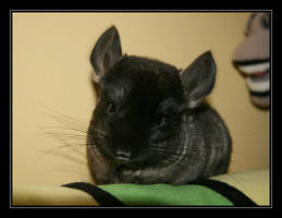 New chinchilla by macareux24