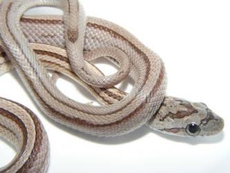 anery striped corn snake hatchling