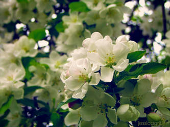 apple blossoms by griffithj