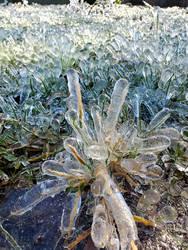 Ice Anemone