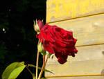 Stock :-: Rose II