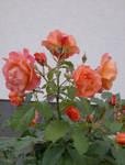 Stock :-: Rose III