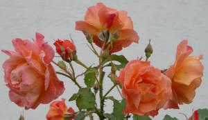 Stock :-: Rose IV