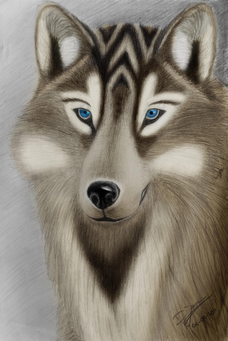 Wolf Drawing Colored by DJaanssen on DeviantArt