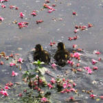 Ducklings and pink flowers