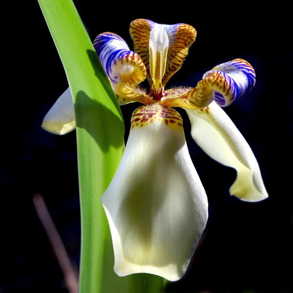 Walking iris by althytrion on deviantart walking iris by althytrion walking iris by althytrion izmirmasajfo