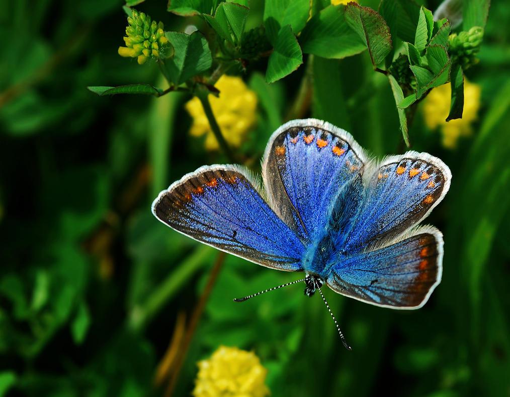 Karner Blue Butterfly Habitat The Karner Blue Butter...