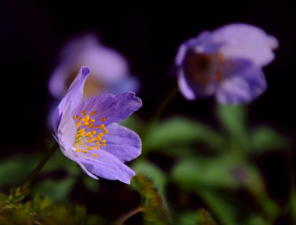 Anemone II by Althytrion